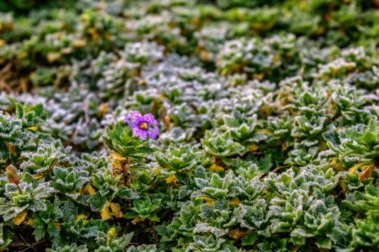 Første frost