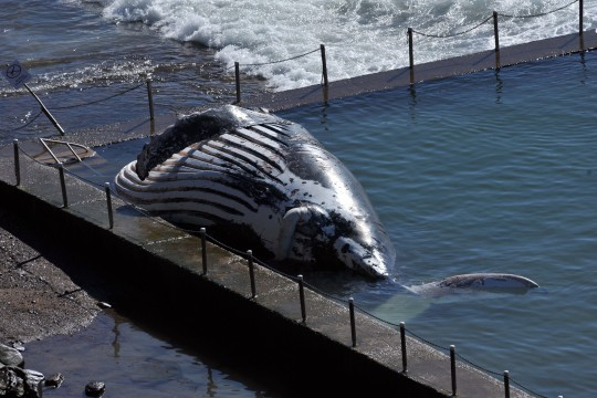 Dead humpback whale washed up in an ocean pool at Newport Beach in Sydney